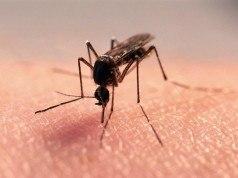 İklim değişikliği Kuzey Kutup Bölgesi'ne daha fazla sivrisinek taşıyor