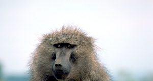 PrimNet yüz tanıma teknolojisi primatları kurtarmaya yardımcı olabilir